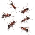 Røde myrer
